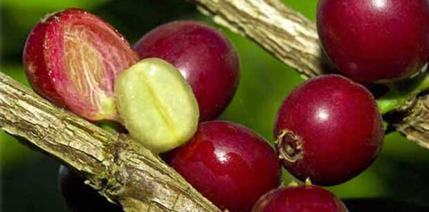 Свежие плоды кофе фото
