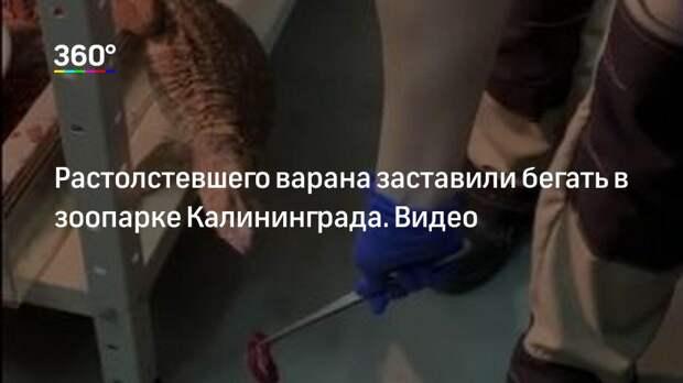 Растолстевшего варана заставили бегать в зоопарке Калининграда. Видео