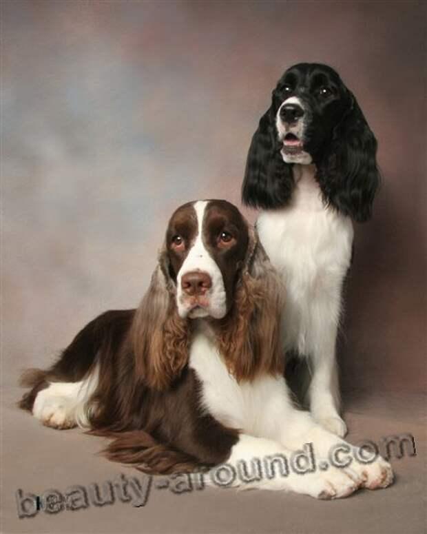 Английский спрингер-спаниель красивые фото собак, породы собак с фотографиями