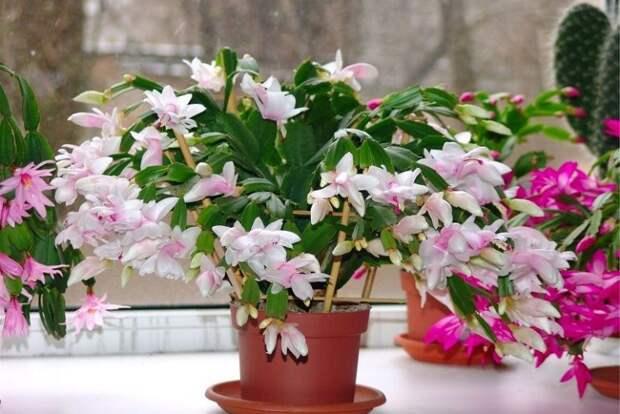 Цветок Шлюмбергере Декабрист