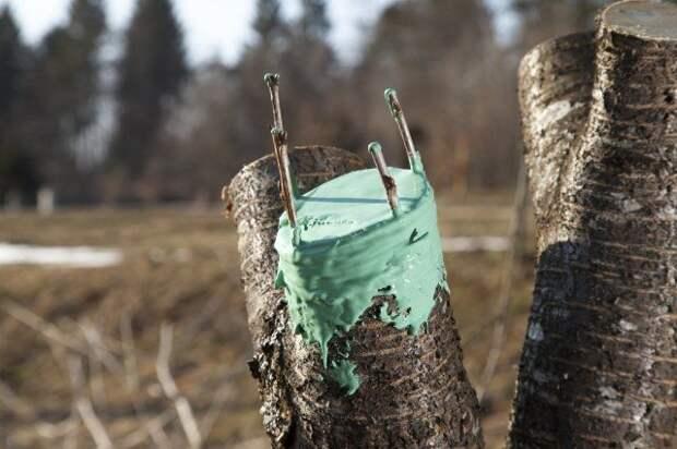 Прививка плодовых деревьев весной