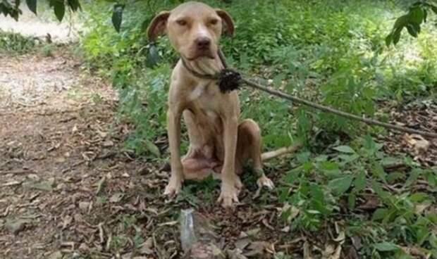 Беременную собаку оставили связанной в лесу рожать в одиночестве, без еды и воды животные, люди, собаки