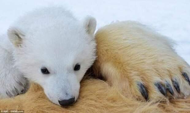 наедине с белым медведем.