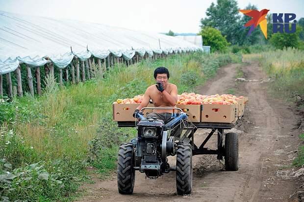 Оставшись без гастарбайтеров, наше сельское хозяйство столкнулось с жесточайшим дефицитом рабочих рук Фото: Андрей ТАНАЕВ