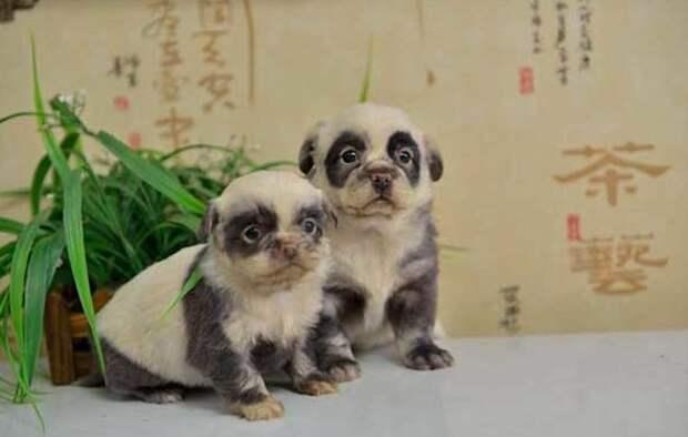 Пандочки животные, мутации, невероятно, необычно, окрас, собаки, удивительно, фото
