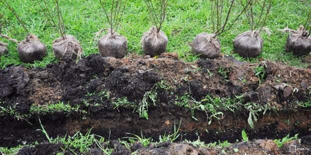 Более двухсот кустарников высадят в Ростокине осенью
