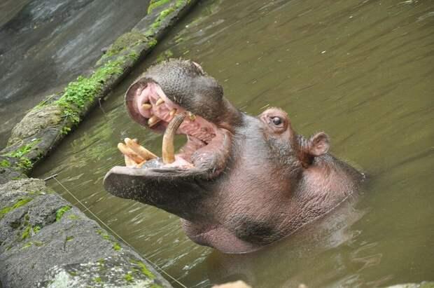 Новое открытие биологов: Бегемоты плотоядны