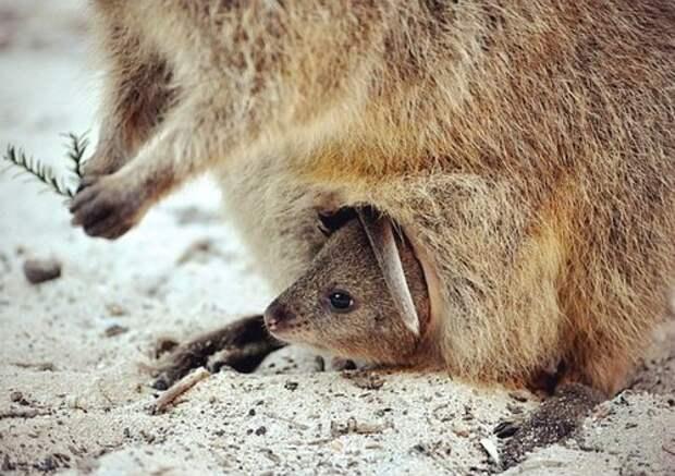 Квокка-животное-Описание-и-образ-жизни-квокки-8