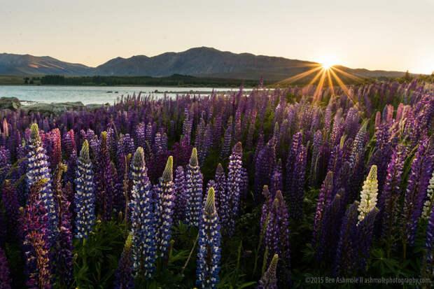 Lupines At Sunrise, Lake Tekapo, New Zealand