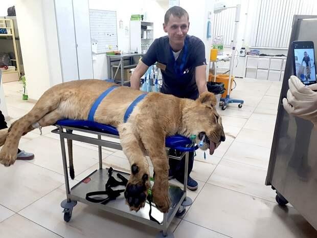 """Львице пришлось сделать укол, чтобы она уснула. Иначе обследование на МРТ не пройти / Фото: """"Велес"""""""