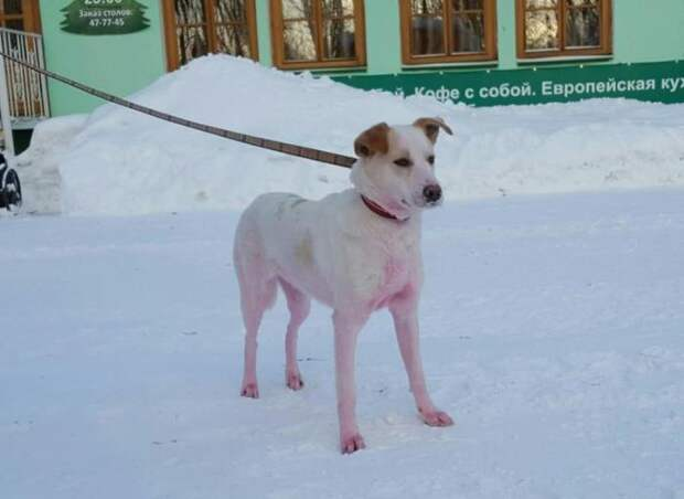 Покрашенную в розовый цвет собаку поймали в Ижевске (6 фото)