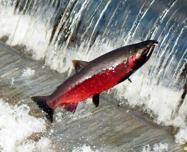 Оказывается, во время нереста лосось превращается в настоящего монстра