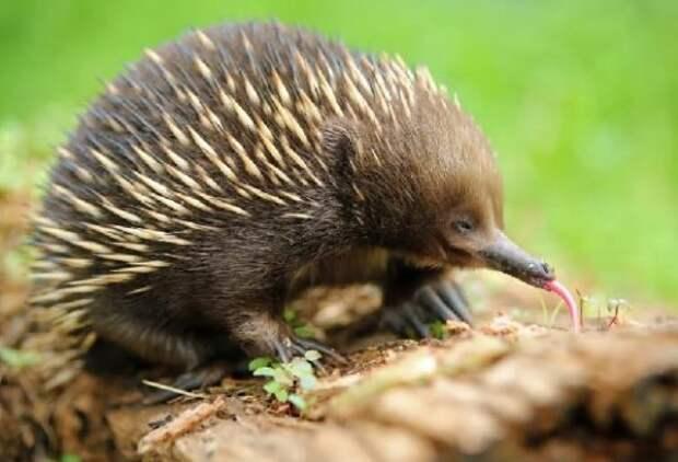 Ехидна – австралийское животное – где обитает, описание, фото