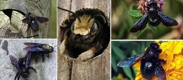 Пчела-плотник: Гигантское чёрное насекомое из деревни. Опасно ли оно? (7 фото)