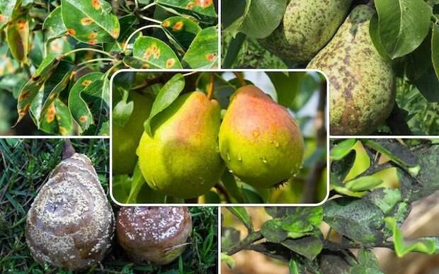 Почему сохнут листья на груше