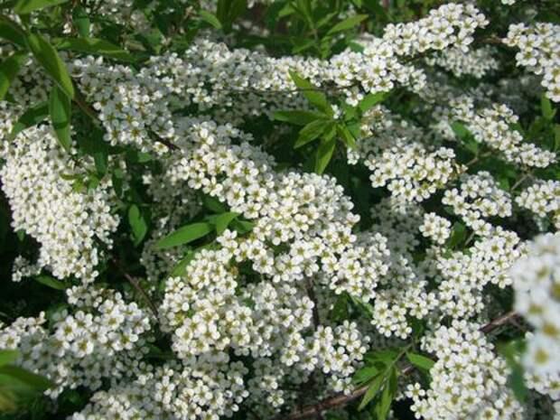 Декоративные кустарники: двойная польза обрезки после цветения
