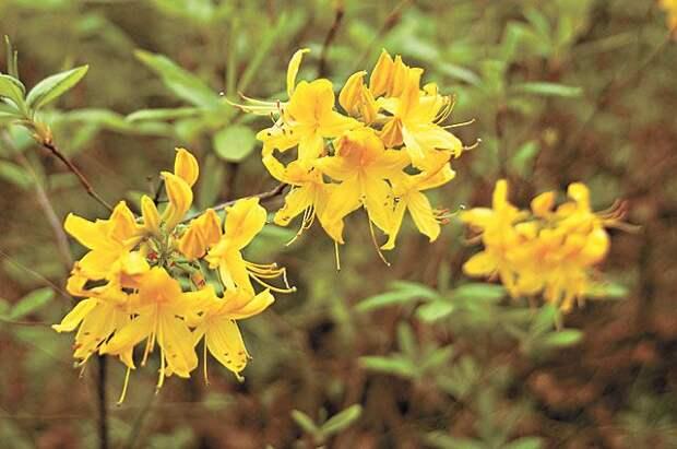 Рододендрон желтый.