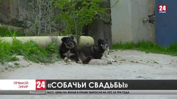 Свадьбы не будет! Кто стерилизует бездомных собак в Феодосии?