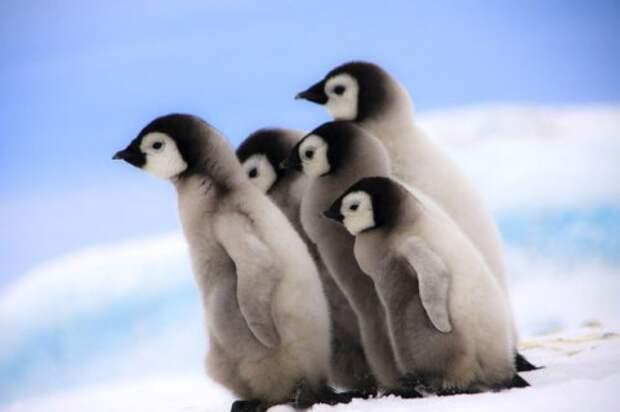 Подмигивающий птенец императорского пингвина (14 фото)