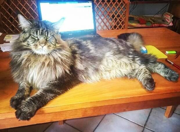 Мешать хозяевам работать, даже лёжа перекрывая весь экран ноутбука длина, домашний питомец, животные, кот, красавчик, милота, рекорд гиннесса