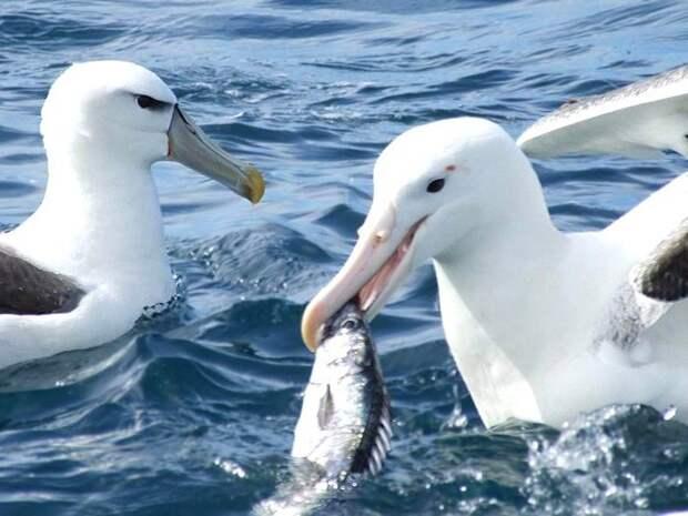 Странствующий-альбатрос-Описание-и-образ-жизни-странствующего-альбатроса-3