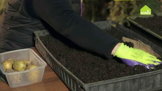 Как увеличить количество посадочного материала картофеля