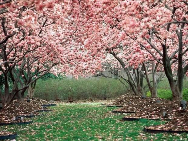 Розовая японская сакура. Фото