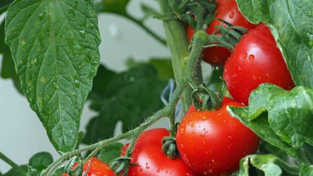 Япония разрешила продавать помидоры с измененным геномом для лечения гипертонии