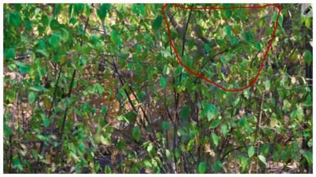 Тест на внимательность: найдите оленя в кустах за 2 минуты