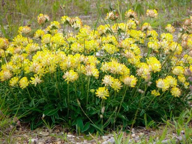 Лекарственное растение Язвенник обыкновенный (Anthyllis vulneraria)
