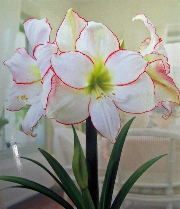 Гиппeacтрум coрт Picotee. Фoтo c caйтa myhome-flowers.ru