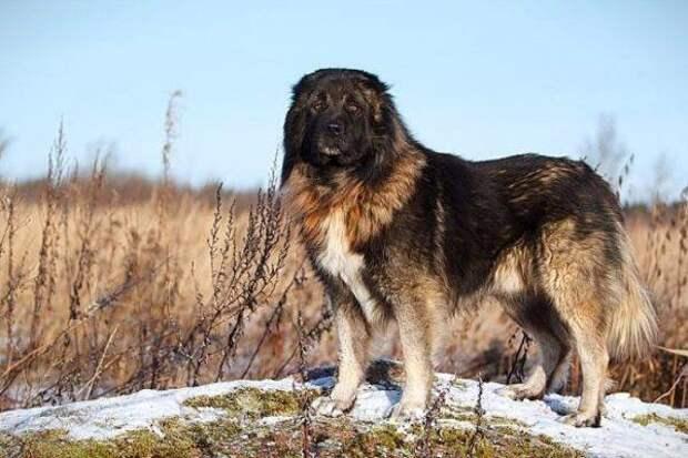 Кавказская овчарка больших, бульдог, до маленьких, питомец, породы, собак, такса