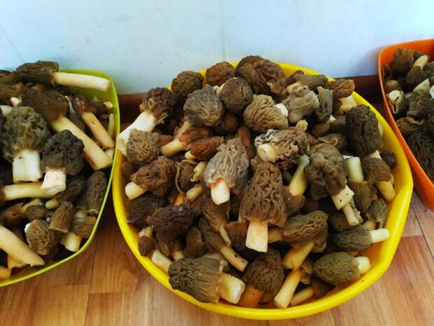 Везут из леса ведрами: новосибирцы собирают сморчки и сморчковые шапочки — заглядываем в их корзинки