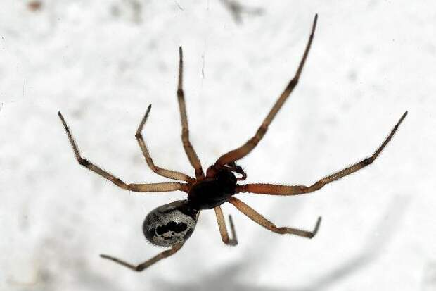Ядовитые пауки оказались разносчиками устойчивых к антибиотикам бактерий