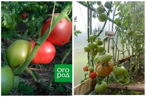 высокорослые томаты Кардио