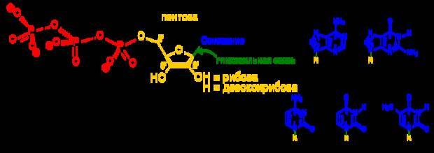 Строение нуклеотидов / ©wikipedia