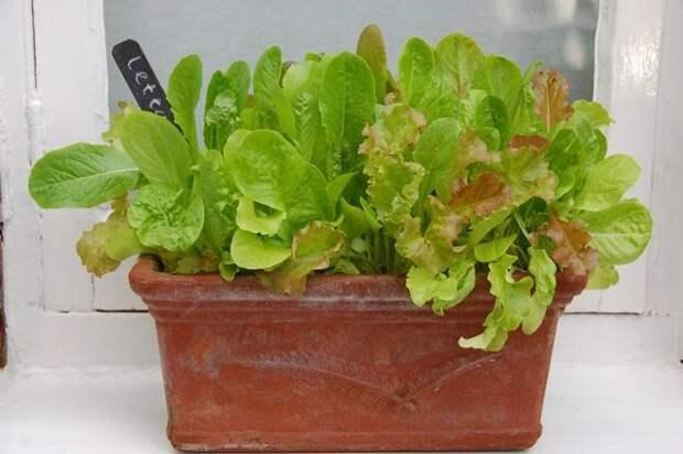Зеленый салат на подоконнике