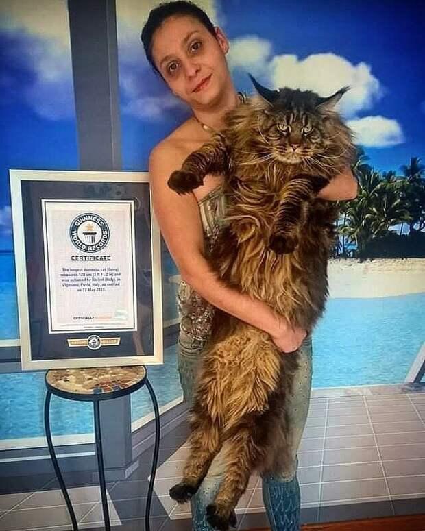 22 мая 2018 года он был официально помещён в Книгу рекордов Гиннеса как самый длинный домашний кот длина, домашний питомец, животные, кот, красавчик, милота, рекорд гиннесса
