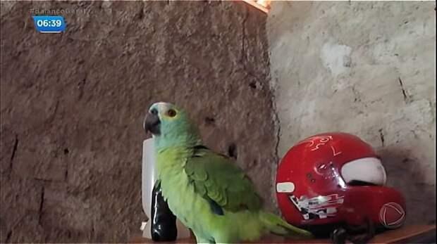"""В Бразилии задержан """"нарко-попугай"""", обученный стоять на стрёме бразилия, драгдилер, дрессированный, забавно, и такое бывает, наркобизнес, полиция, попугай"""