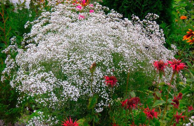 Многолетний садовый цветок Гипсофила (Gypsophila)