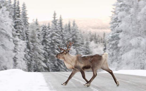 Вышло мобильное приложение для отслеживания оленей на дорогах