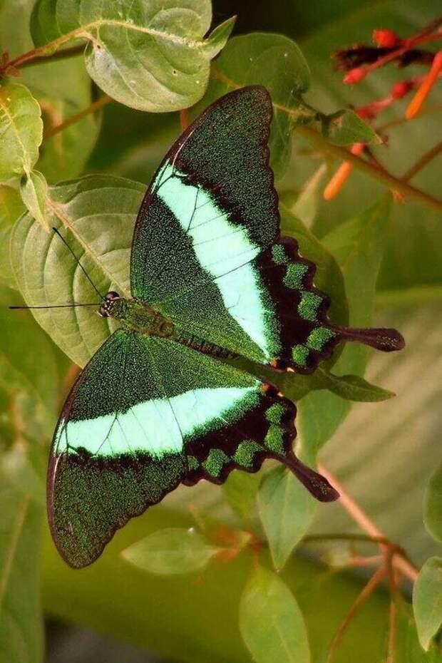 Гусеницы некотрых молей питаются исключительно шерстью, войлоком или воском бабочки, интересное, красота, насекомые