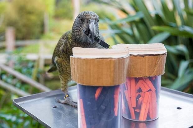 Не глупее шимпанзе и человека: попугаи кеа вновь удивили