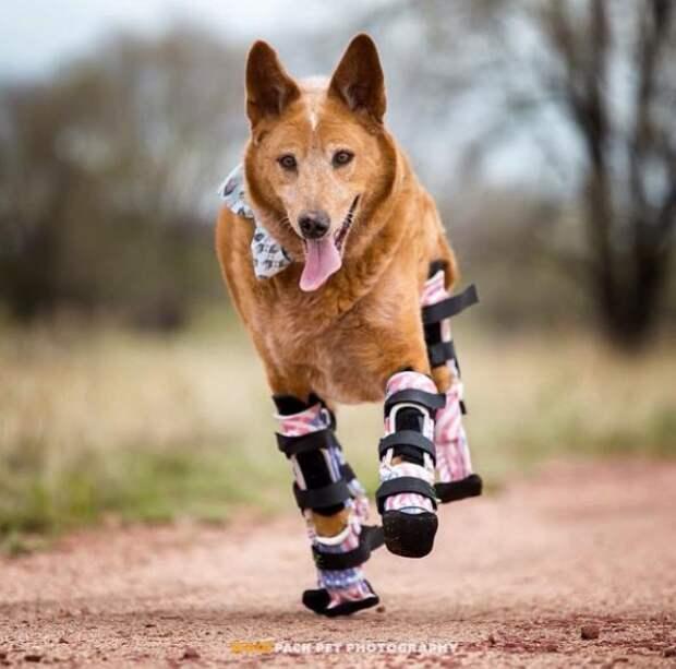 История первой в мире собаки с четырьмя протезами