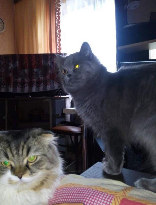 Шотландский серый котёнок прижился в моём доме, я думал, что это кошка как у всех, а оказалось, что она у меня особенная