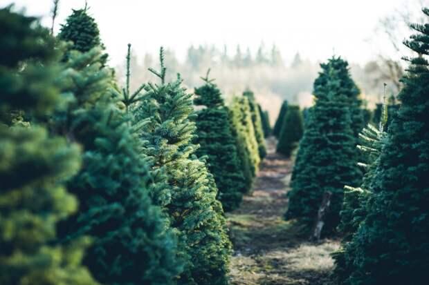 В Подмосковье организуют 200 пунктов для приема елок на переработку
