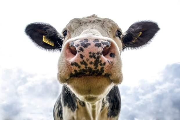 В Индии жители обмазываются коровьим навозом для защиты от коронавируса