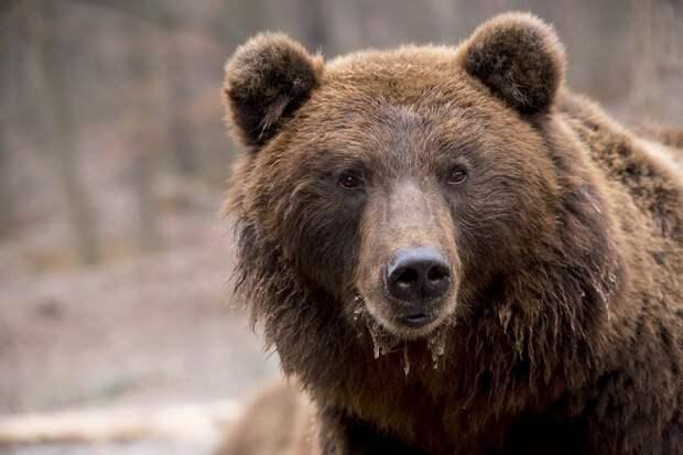 Медведь загрыз жителя Воткинска