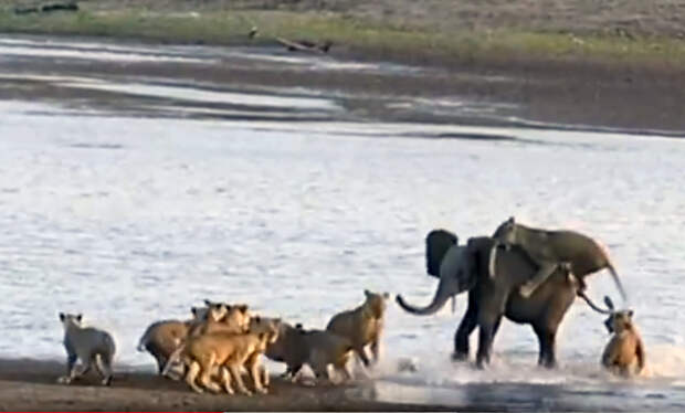 Отважный слоненок отбился от нападения 14 хищных львов