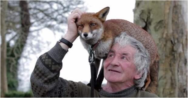 """В Ирландии живёт лисий """"папа""""! Он подобрал брошенных лисят, и теперь красавцы платят ему самой рыжей и сияющей любовью!"""